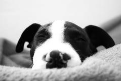 Detalhe de cabeça do animal de estimação Foto de Stock