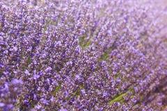Detalhe de campo da alfazema em Provence fotos de stock royalty free