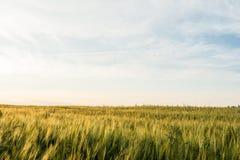 Detalhe de campo da cevada Plantas de cevada novas no campo Fundo borrado Imagens de Stock