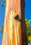 Detalhe de casca colorida da árvore de eucalipto do arco-íris Fotografia de Stock Royalty Free