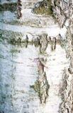 Detalhe de casca de árvore Foto de Stock Royalty Free