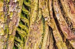 Detalhe de casca velha do carvalho Fotos de Stock