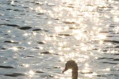 Detalhe de cisne no rio de Dunabe na manhã Imagens de Stock