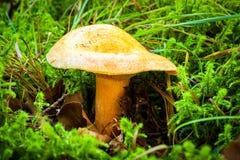 Detalhe de cogumelo no musgo Foto de Stock Royalty Free