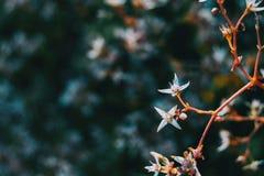Detalhe de duas flores brancas do álbum do sedum em um ramo fotografia de stock