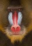 Detalhe de face e de pele coloridas de Mandrill Foto de Stock Royalty Free