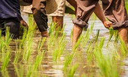 Detalhe de fazendeiros que transplantam plântulas do arroz no campo de almofada Foto de Stock