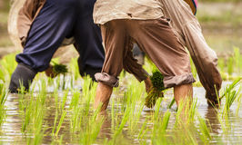 Detalhe de fazendeiros que transplantam plântulas do arroz no campo de almofada Foto de Stock Royalty Free
