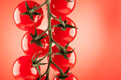 Detalhe de fim do tomate de cereja dos ramos acima com gotas da água Imagens de Stock Royalty Free