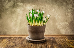 Detalhe de flor agradável do açafrão no potenciômetro, estilo do vintage Fotos de Stock Royalty Free