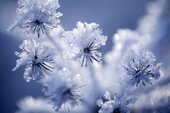 Detalhe de flor congelada Foto de Stock Royalty Free