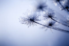 Detalhe de flor congelada Fotos de Stock Royalty Free