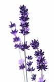 Detalhe de flor da alfazema imagem de stock royalty free