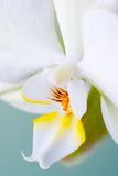 Detalhe de flor do rchid. Fotos de Stock
