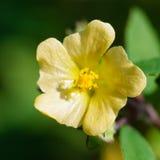 Detalhe de flor selvagem pequena Fotografia de Stock Royalty Free