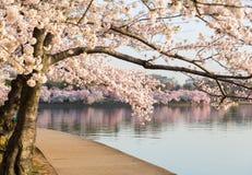 Detalhe de flores japonesas da flor de cerejeira Fotos de Stock Royalty Free
