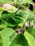 Detalhe de folha da planta de easter com luz natural na cor verde imagem de stock