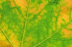 Detalhe de folha de plátano do outono Imagem de Stock Royalty Free