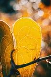 Detalhe de folha do aspera do smilax com luz solar e bokeh imagem de stock