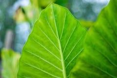 Detalhe de folhas da planta do alocasia, com bokeh fotos de stock