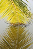 Detalhe de folhas de palmeira que penduram na água Imagens de Stock