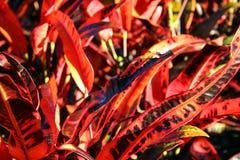 Detalhe de folhas vermelhas brilhantes Imagem de Stock