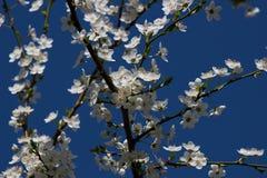 Detalhe de galho de florescência do espinho Foto de Stock Royalty Free