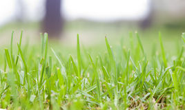 Detalhe de gramado Foto de Stock Royalty Free