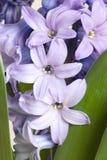 Detalhe de hyacinth Imagens de Stock Royalty Free