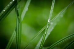 Detalhe de lâmina de grama com orvalho da manhã Imagens de Stock