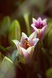 Detalhe de lírios orientais cor-de-rosa e brancos na luz solar Imagens de Stock