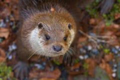 Detalhe de lontra curiosa Fotos de Stock Royalty Free