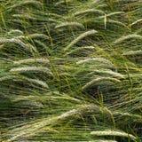 Detalhe de milho verde Imagens de Stock