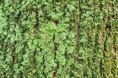 Detalhe de musgo verde na casca de árvore Foto de Stock Royalty Free