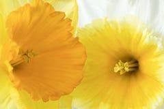 Detalhe de narciso Imagens de Stock Royalty Free