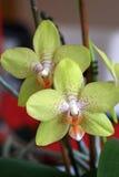 Detalhe de orquídea Fotografia de Stock