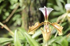 Detalhe de orquídea Fotos de Stock