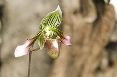Detalhe de orquídea Fotos de Stock Royalty Free