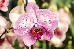 Detalhe de orquídea Foto de Stock Royalty Free