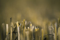 Detalhe de palha do campo terminado Fotos de Stock Royalty Free