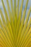Detalhe de palma do viajante Fotografia de Stock Royalty Free