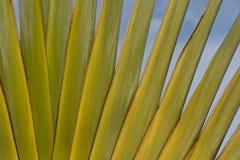 Detalhe de palma do viajante Imagens de Stock