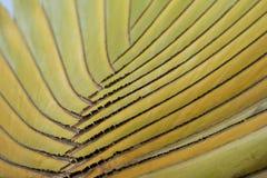 Detalhe de palma do viajante Imagem de Stock Royalty Free