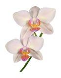 Detalhe de pedúnculo do Phalaenopsis bonito da orquídea Imagem de Stock Royalty Free