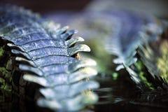 Detalhe de pele de Gavial Foto de Stock