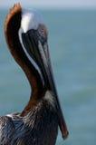 Detalhe de pelicano. Foto de Stock Royalty Free