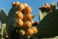 Detalhe de peras espinhosas em um cacto de pera espinhosa fotografia de stock