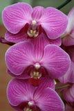 Detalhe de Phalaenopsis Foto de Stock