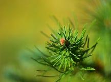 Detalhe de pinheiro Imagens de Stock Royalty Free