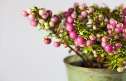 Detalhe de planta sempre-verde, com bagas cor-de-rosa, arranjo no potenciômetro para o Natal imagens de stock